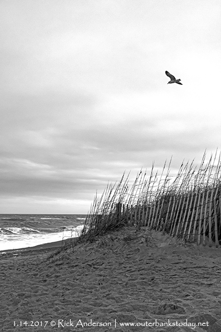 Seagull flying over Sand Dune on the Outer Banks.