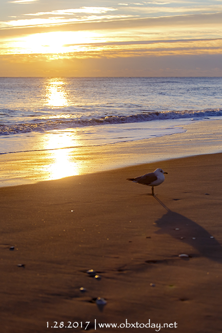 Seagull standing by the seashore at sunrise in Nags Head, NC